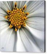 Sonata Cosmos White Acrylic Print