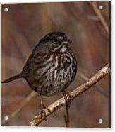 Song Sparrow Acrylic Print