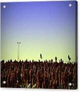 Sorghum Fields Forever Acrylic Print