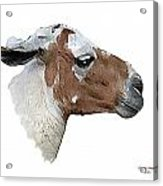 South American Goat Acrylic Print