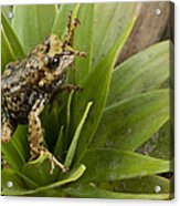 Southern Frog Newly Discovered Species Ecuador Acrylic Print