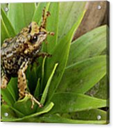 Southern Frog Pristimantis Sp, Newly Acrylic Print