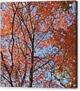 Southern Illinois Maple Acrylic Print