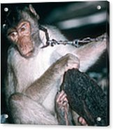 Southern Pig-tailed Macaque Acrylic Print