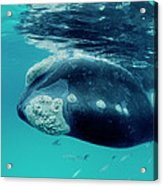Southern Right Whale Eubalaena Acrylic Print