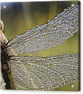 Southern Skimmer Orthetrum Brunneum Acrylic Print