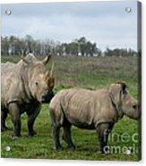 Southern White Rhinos Acrylic Print