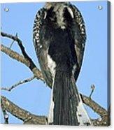 Southern Yellow-billed Hornbill Acrylic Print