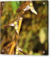 Soybean Yields After Seed Inoculation Acrylic Print by Science Source