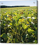 Soybeans Sprout In A Large Eastern Acrylic Print by Stephen St. John