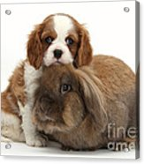 Spaniel Pup With Rabbit Acrylic Print
