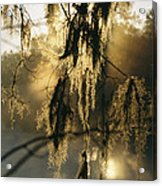 Spanish Moss Hanging From A Tree Branch Acrylic Print