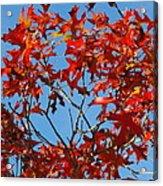 Spanish Oak Tree In Texas Acrylic Print by Rebecca Cearley