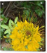 Yellow Bee Plant Sparks Acrylic Print