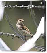 Sparrow - Protected By Razor Wire Acrylic Print