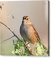 Sparrow Bird Perched . 40d12304 Acrylic Print