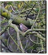 Sparrow Bird Perched . 40d12307 Acrylic Print