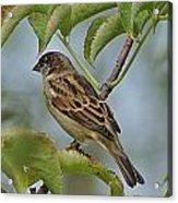 Sparrow I Acrylic Print
