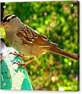 Sparrow In Morning Light  Acrylic Print
