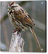 Sparrow Iv Acrylic Print