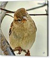 Sparrow On A Twig Acrylic Print