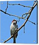 Sparrow On The Branch Acrylic Print