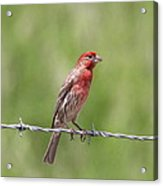 Speckled In Red Acrylic Print