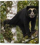Spectacled Bear Tremarctos Ornatus Cub Acrylic Print