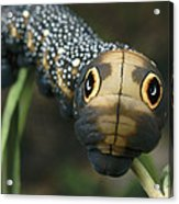 Sphinx Moth Caterpillar Inflating Acrylic Print by Darlyne A. Murawski