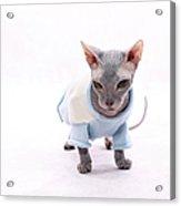Sphynx Hairless Cat. Acrylic Print