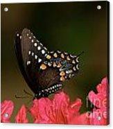 Spice Bush Swallowtail And Azaleas Acrylic Print by Lara Ellis