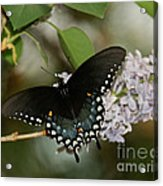 Spice Bush Swallowtail On Lilac Acrylic Print
