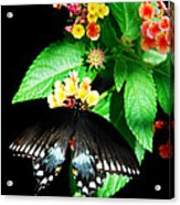 Spice Bush Swallowtail  Acrylic Print