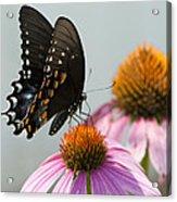 Spicebush Butterfly On Echinacea Acrylic Print