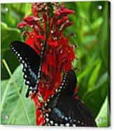 Spicebush Swallowtails Visiting Cardinal Lobelia Din041 Acrylic Print