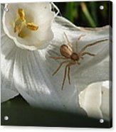 Spider In Narcissus Acrylic Print