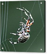 Spider - The Spinner Acrylic Print