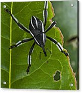 Spider Weevil Papua New Guinea Acrylic Print