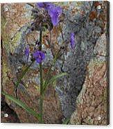 Spiderwort Acrylic Print