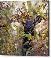 Spike Elk In Brush Acrylic Print