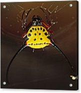 Spiked Spider Gasteracantha Sp In Web Acrylic Print