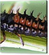 Spiky Caterpillar  Acrylic Print by Maureen  McDonald