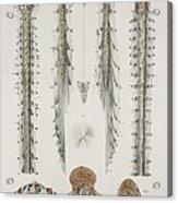 Spinal Cord Anatomy, 1844 Artwork Acrylic Print