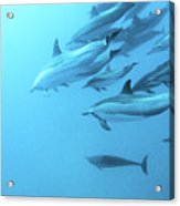 Spinner Dolphins Hawaii Acrylic Print by Monica and Michael Sweet