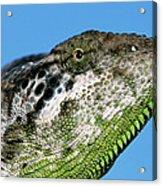 Spiny Chameleon Chamaeleo Verrucosus Acrylic Print