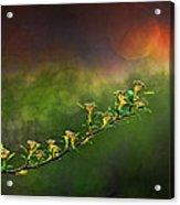 Spirea Sunset Acrylic Print by Brenda Bryant