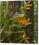 Splendid Leaf Frog  Costa Rica Acrylic Print