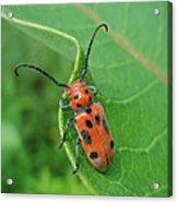 Spotted Asparagus Beetle - Crioceris Duodecimpunctata Acrylic Print