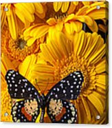 Spotted Butterfly On Yellow Mums Acrylic Print