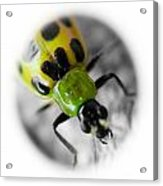 Spotted Cucumber Beetle Acrylic Print by Maureen  McDonald